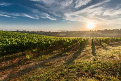 irrigartion des vignes